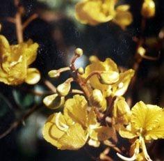 Gema de Ovo - Essência Floral - Tristeza Aflita