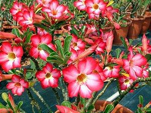 Semente Mr-KO Pink - Kit com 10 sementes Flor Simples