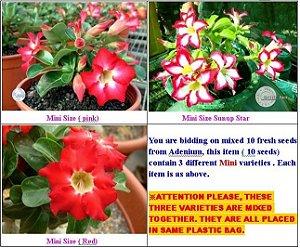 Semente Mr-KO Adenium Obesum Mini MIX - Kit com 5 sementes Flor Simples