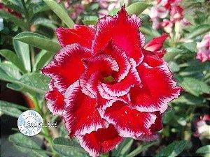 Semente Mr-KO Miracle - VERMELHA com detalhes na Borda - Kit com 5 sementes Flor Tripla
