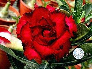 Semente Mr-KO 14 - VERMELHA - Kit com 5 sementes Flor Tripla