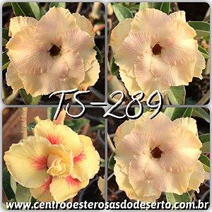 Rosa do Deserto Enxerto TS-289