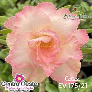 Rosa do Deserto Enxerto EV-175 Cálida