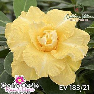Rosa do Deserto Enxerto - EV-183