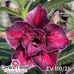 Rosa do Deserto Enxerto EV-110