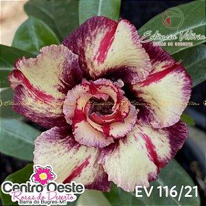 Rosa do Deserto Enxerto EV-116