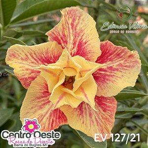Rosa do Deserto Enxerto EV-127