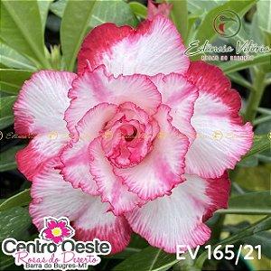 Rosa do Deserto Enxerto EV-165