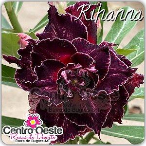 Rosa do Deserto Enxerto - Rihanna