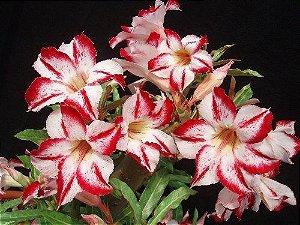 Semente Mr-KO Border Gem - Branca com borda vermelha - Kit com 5 sementes Flor Simples