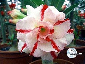 Semente Mr-KO 03 - Kit com 5 sementes Flor Tripla