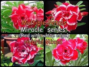 Semente Híbridas Rinoa-Chen Miracle Series - Kit com 5 sementes Flor Dobrada