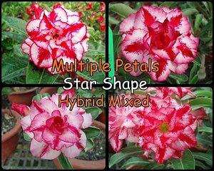 Semente Híbridas Rinoa-Chen Star Shape - Kit com 5 sementes Flor Dobrada