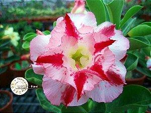 Semente Mr-KO 22 - Kit com 5 sementes Flor Dobrada