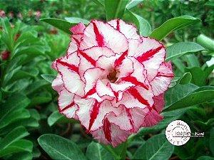 Semente Mr-KO 36 - Kit com 5 sementes Flor Tripla