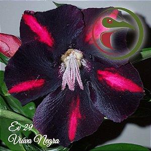 Muda de Enxerto - EV-029 - Viúva Negra - Flor Simples