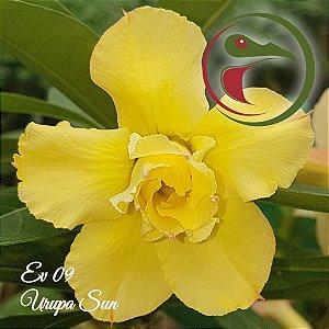 Rosa do Deserto Muda de Enxerto - EV-009 - Urupa Sun - Flor Dobrada