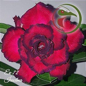 Muda de Enxerto - EV-072 - Iracema - Flor Tripla