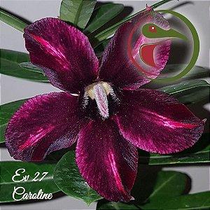 Muda de Enxerto - EV-027 - Caroline - Flor Simples