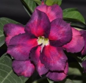 Muda de Enxerto - EV-446 - Flor Dobrada Roxa
