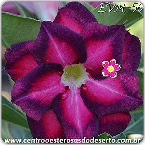 Muda de Enxerto - EVM-056 - Flor Dobrada