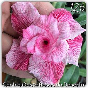 Muda de Enxerto - EV-126 - Flor Tripla Branca/pink Mesclada