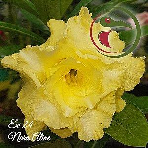 Rosa do Deserto Muda de Enxerto - EV-024 - Nora Aline - Flor Tripla