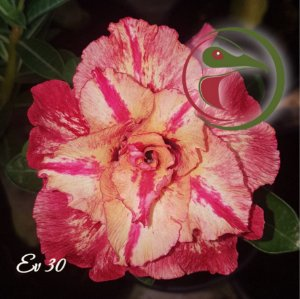 Rosa do Deserto Muda de Enxerto - EV-030 - Flor Tripla