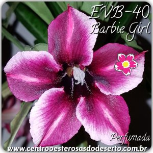 Rosa do Deserto Muda de Enxerto - Barbie Girl - Flor Simples Perfumada