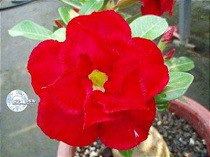 Semente Mr-KO 45 - Kit com 5 sementes Flor Dobrada