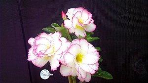 Semente Mr-KO 68 - Kit com 5 sementes Flor Dobrada
