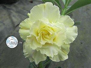 Semente Mr-KO 41 - Kit com 5 sementes Flor Tripla