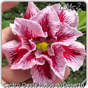 Rosa do Deserto Muda de Enxerto - LM-02 - Flor Dobrada Vermelha Matizada