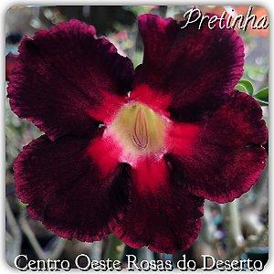 Muda de Enxerto - Pretinha - Flor simples