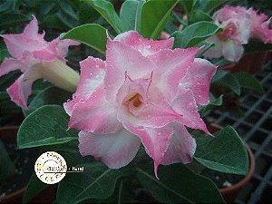 Semente Mr-KO 25 - Kit com 5 sementes Flor Dobrada