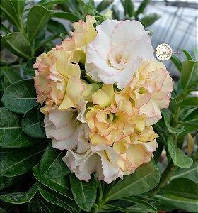 Semente Mr-KO 106 - Kit com 5 sementes Flor Dobrada