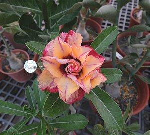 Semente Mr-KO 85 - Kit com 5 sementes Flor Tripla