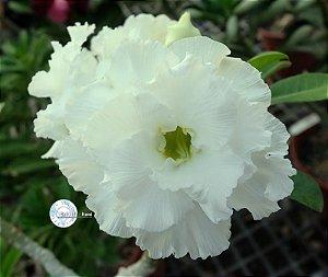 Semente Mr-KO 88 - Kit com 5 sementes Flor Dobrada