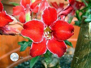 Semente Mr-KO Small Red Plum -  Kit com 5 sementes Flor Simples