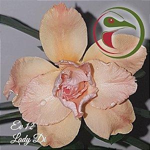 Rosa do Deserto Muda de Enxerto - EV-012 - Lady Di - Flor Tripla