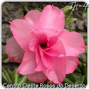 Muda de Enxerto - TH-4 - Flor Tripla Pink Claro