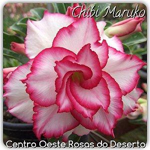 Muda de Enxerto - Chibi Maruko - Flor Tripla Branca com borda Pink