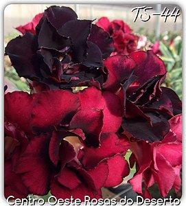 Rosa do Deserto Muda de Enxerto - TS-044 - Flor Dobrada Vermelha Intenso