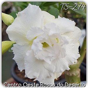 Muda de Enxerto - TS-274 - Flor Tripla Branca