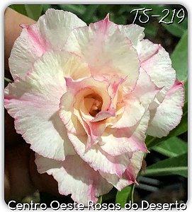 Muda de Enxerto - TS-219 - Flor Tripla Branca com detalhes em Pink
