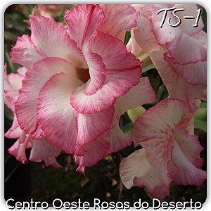 Muda de Enxerto - TS-001 - Flor Branca matizado pink