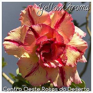 Muda de Enxerto - Yellow Aroma - Flor Tripla amarelo matizado