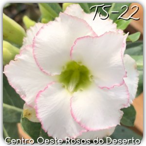 Muda de Enxerto - TS-022 - Flor Dobrada Branca c/ Borda Rosa