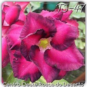 Muda de Enxerto - TS-047 - Flor Dobrada Pink