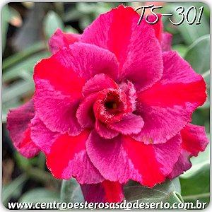 Rosa do Deserto Muda de Enxerto - TS-301 - Flor Tripla Roxa Matizada